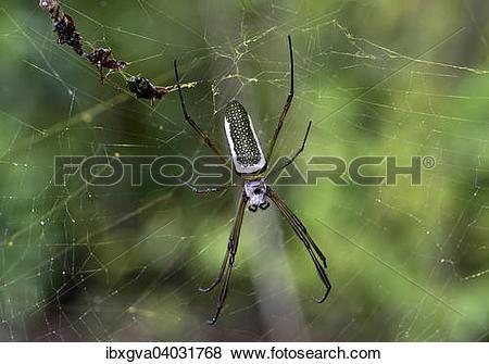 "Pictures of ""Golden Silk Orbweaver (Nephila clavipes), female."