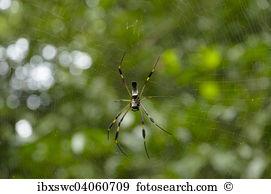 Nephila clavipes Stock Photo Images. 33 nephila clavipes royalty.