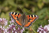 "Stock Photography of ""Heath Fritillary (Melitaea athalia."