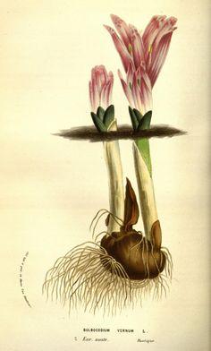 Amaryllis (Nerine) sarniensis.