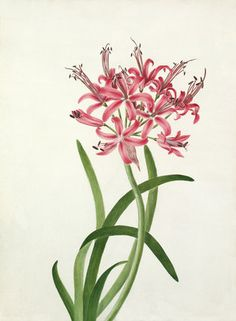 Watercolour on rice paper of plant identified as Lycoris aurea.