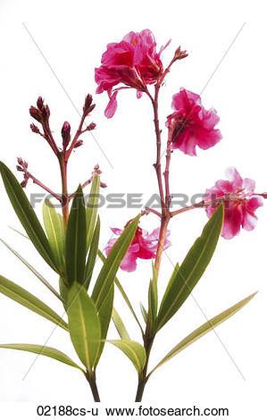 Stock Images of Oleander Nerium oleander 02188cs.