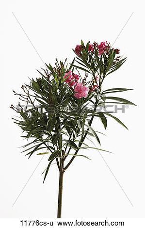 Stock Images of Oleander (Nerium oleander) 11776cs.