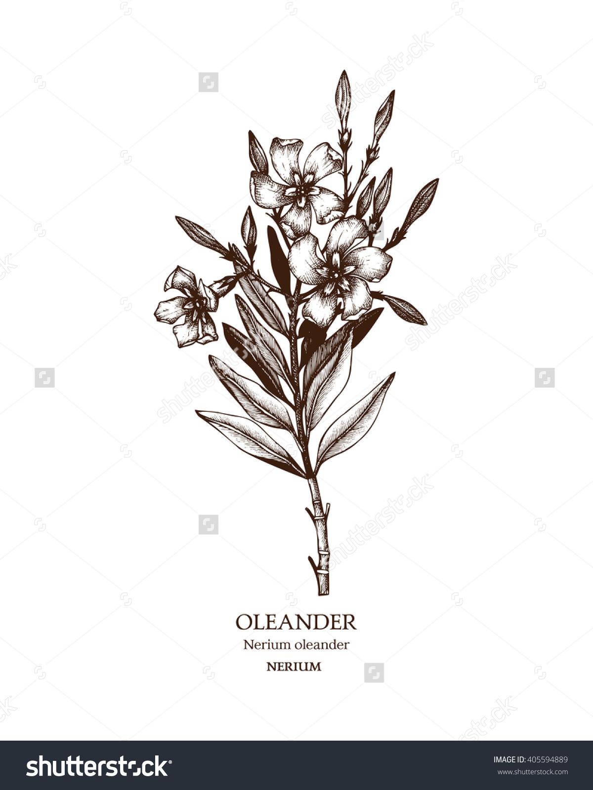 Botanical Illustration Oleander Vintage Hand Drawn Stock Vector.