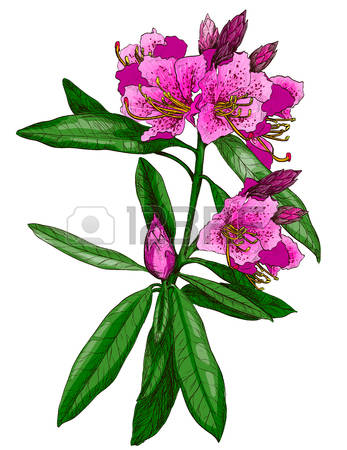 103 Oleander Cliparts, Stock Vector And Royalty Free Oleander.