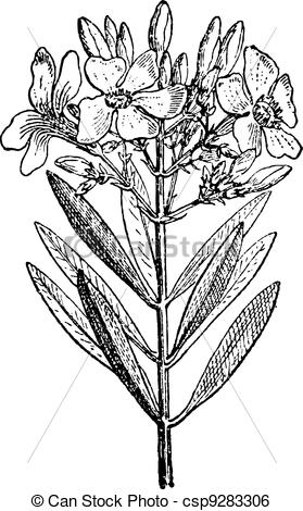 Clip Art Vector of Oleander or Nerium oleander, vintage engraving.