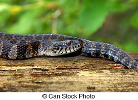 Stock Photo of Northern Water Snake (nerodia sipedon) sunning.