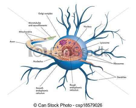 Nerve Clip Art and Stock Illustrations. 8,595 Nerve EPS.