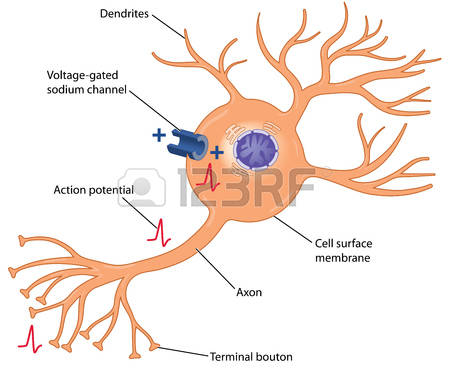 2,394 Nerve Cell Stock Vector Illustration And Royalty Free Nerve.