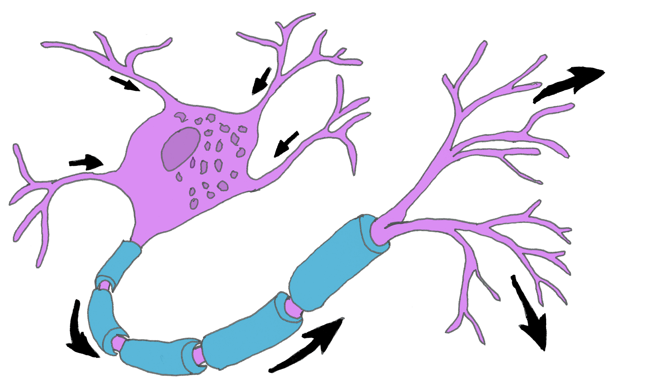 Diagram Of Nerve Cell.