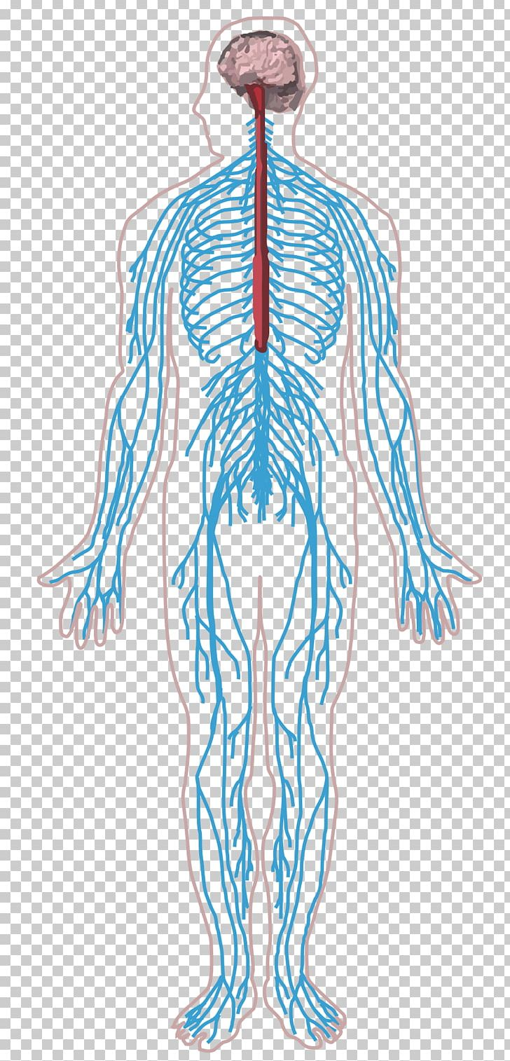 Peripheral Nervous System Nerve Human Body Central Nervous.