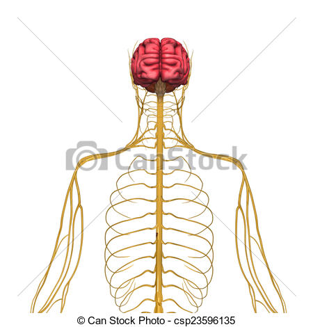 Drawings of Nervous system.