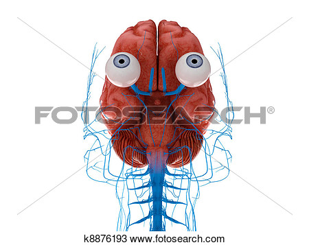 Nerves From Eye To Brain Clipart.