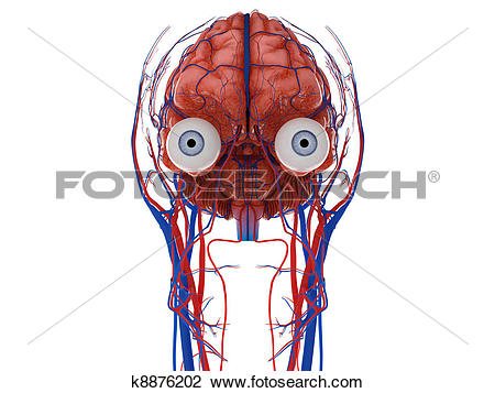 Clip Art of Human brain with eyes, nerves and blood vessels.