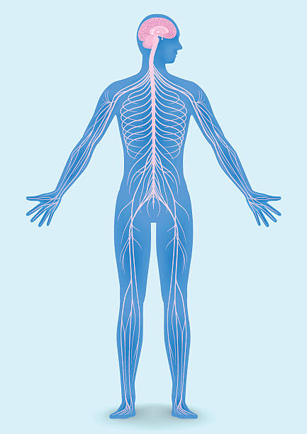 Best Peripheral Nervous System Illustrations, Royalty.