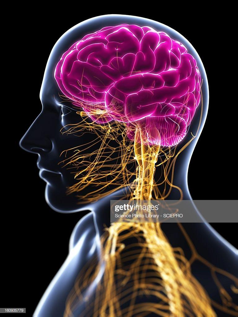 60 Top Central Nervous System Stock Illustrations, Clip art.