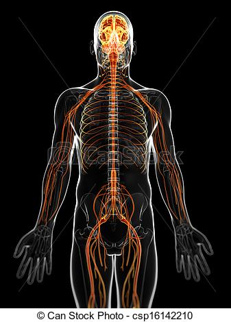 Nervous system Clip Art and Stock Illustrations. 7,889.