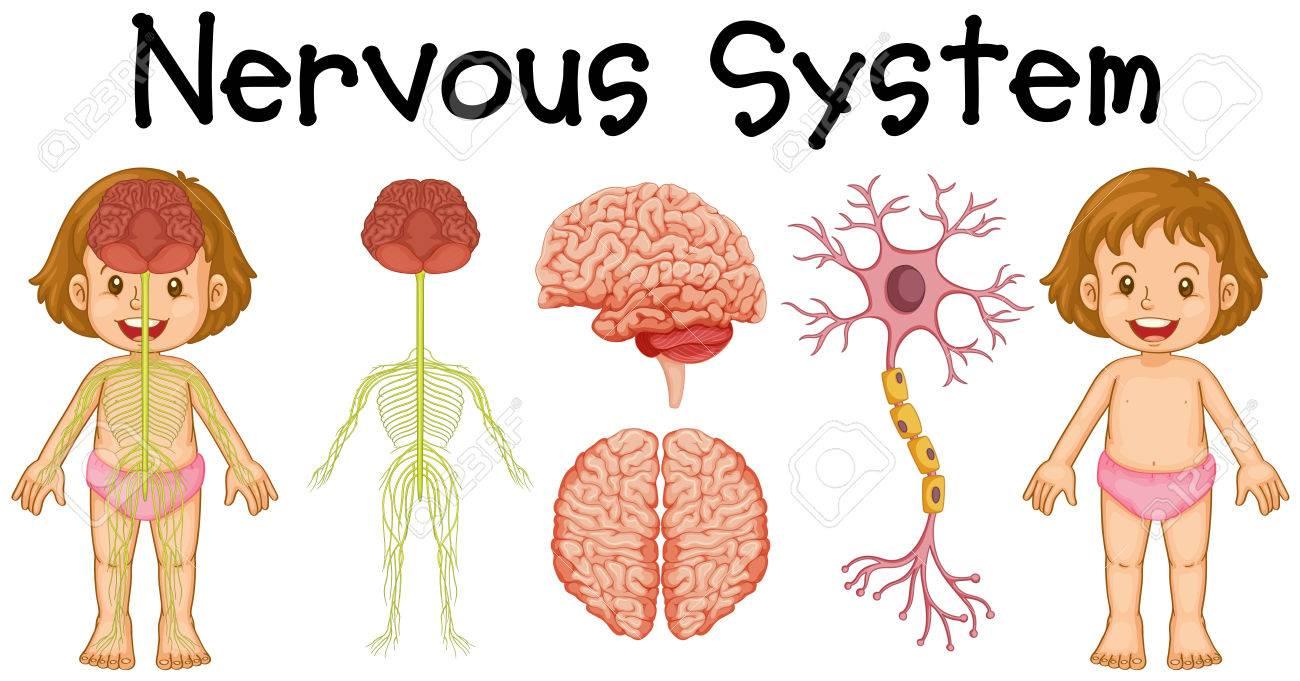 Nervous system of little girl » Clipart Station.