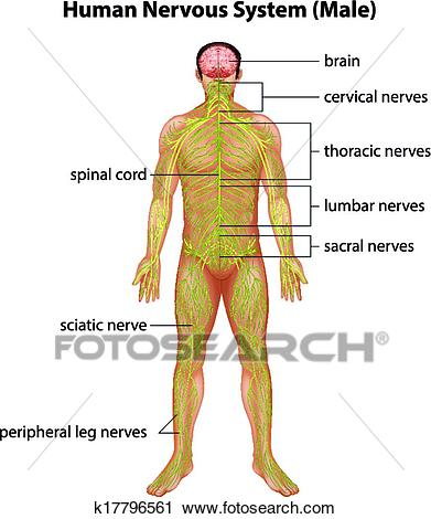 Human nervous system Clipart.