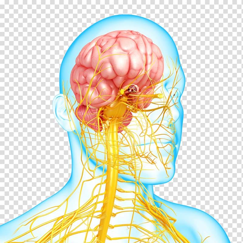 Nervous system disease Mental disorder Autonomic nervous.