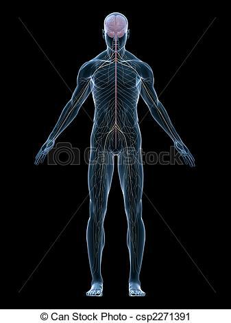human nerve system.