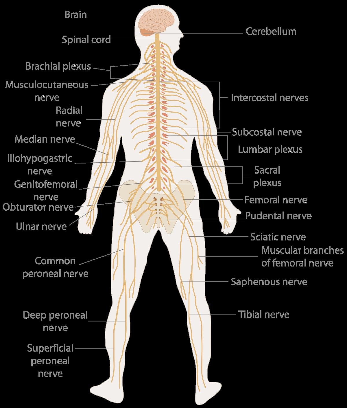 Nervous system.