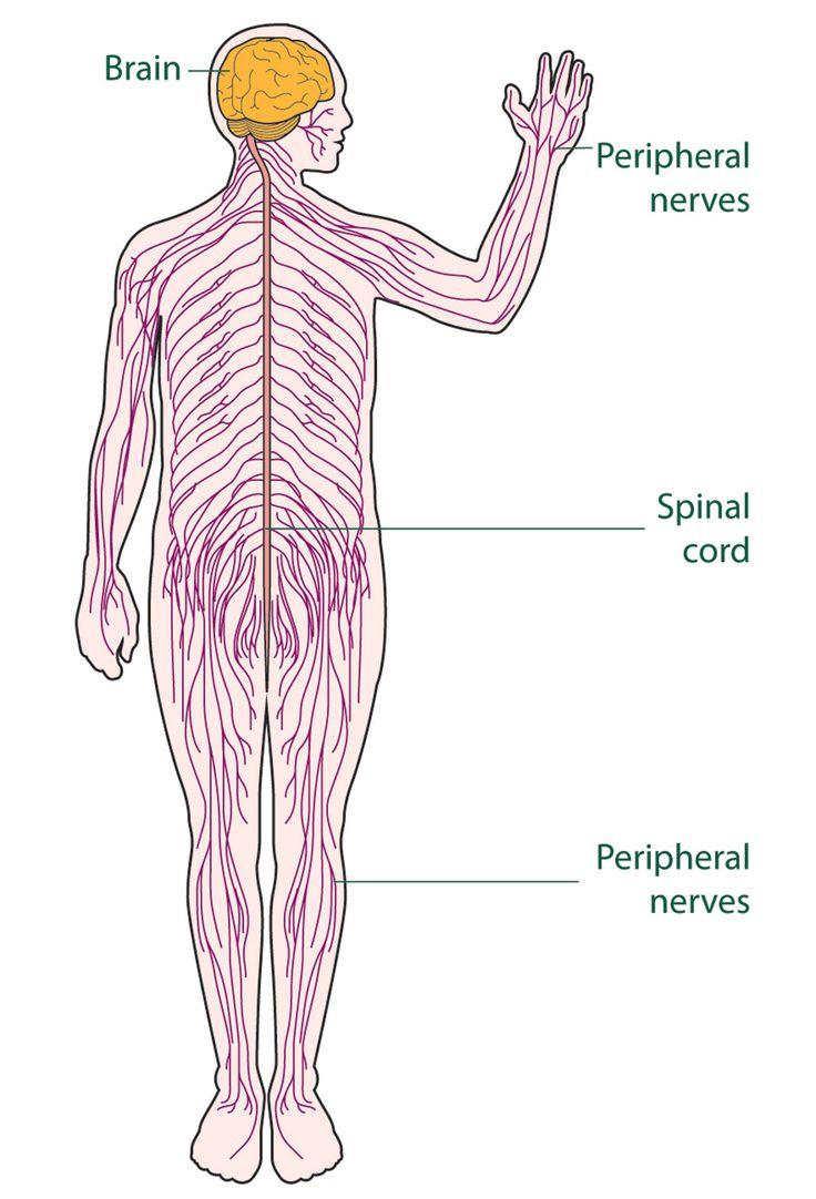 1000+ ideas about Enteric Nervous System on Pinterest.