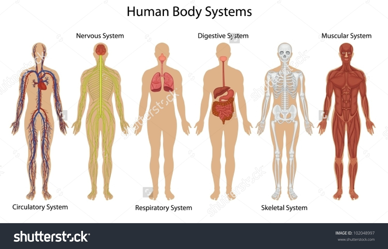 Human Organ Systems For Kids Human Body System Clipart.
