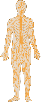 nervous system in the body clipart Clipground