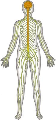 Clipart Nervous System.