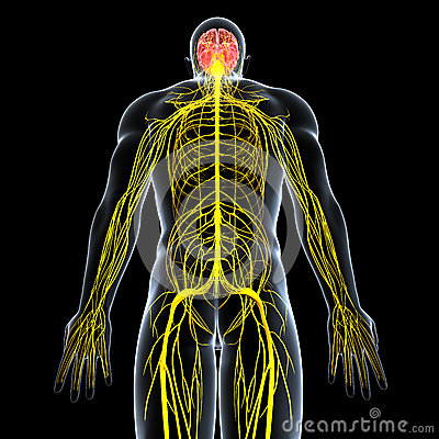 Nervous System In The Body Clipart.