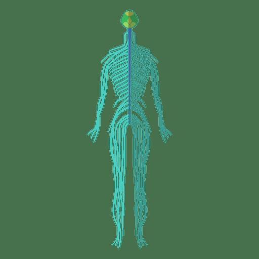Nervous system brain nerves human body.