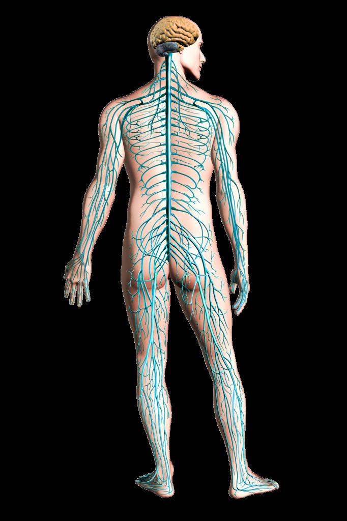 PNG Nervous System Transparent Nervous System.PNG Images.