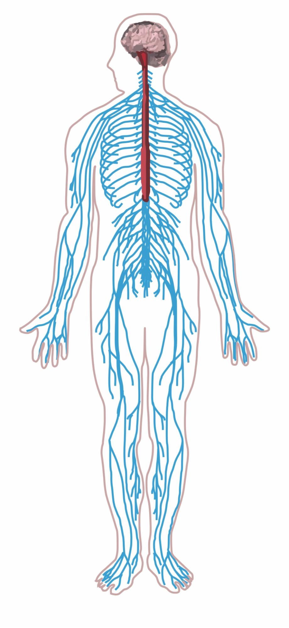 Nervous System Png.