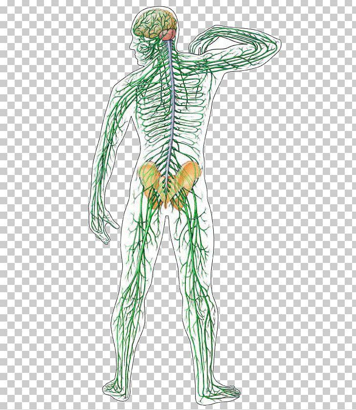 Central Nervous System Human Body Nerve Organ System PNG.