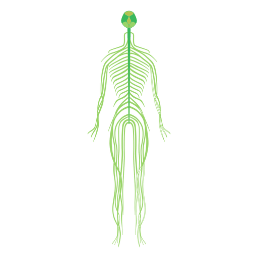 Nervous system brain human body.