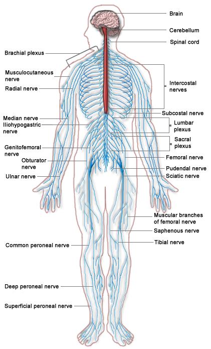 File:Nervous system diagram.png.