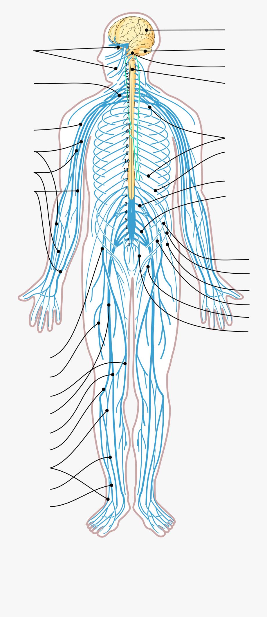 Png Nervous System.