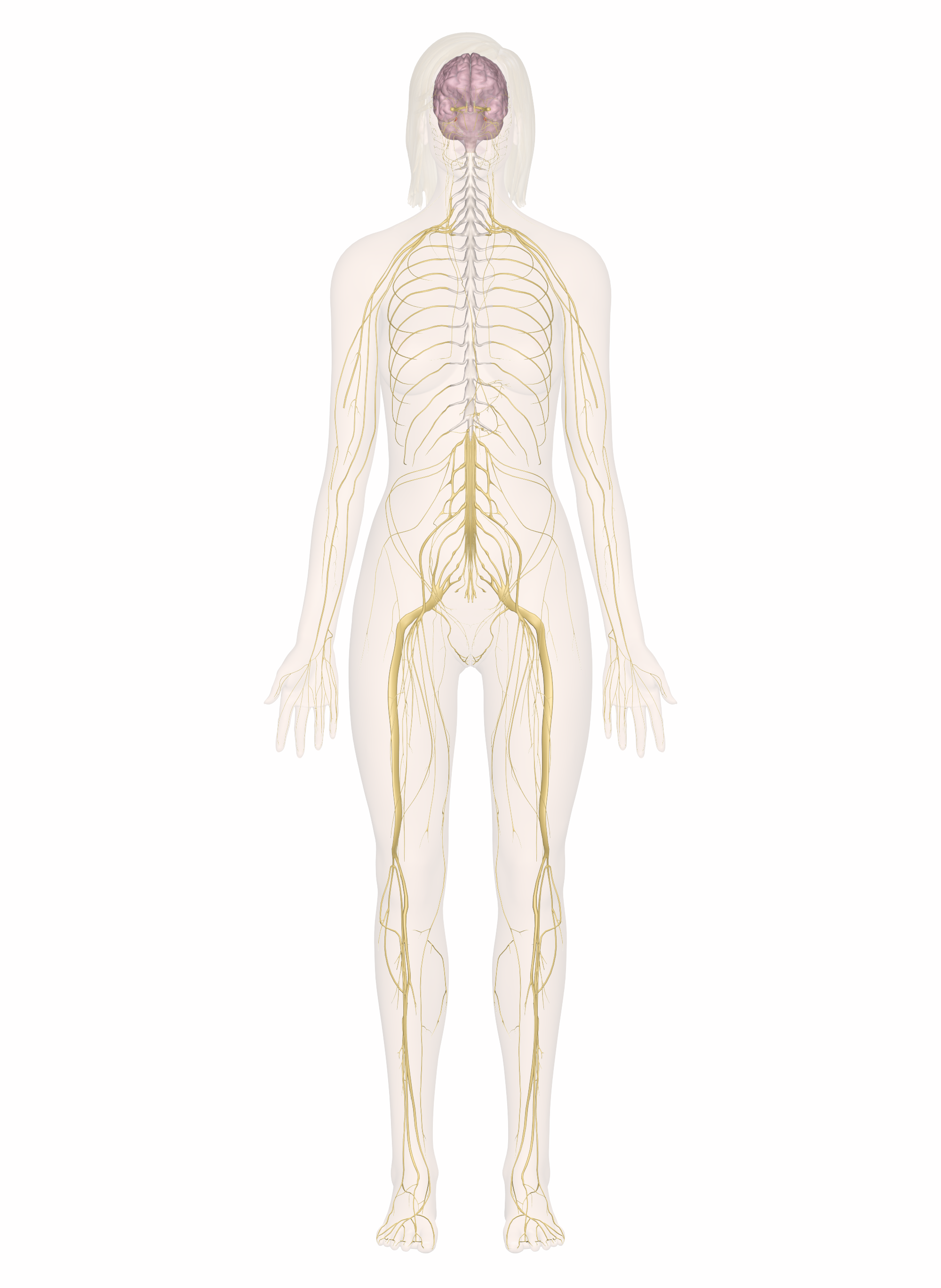Nervous System: Explore the Nerves with Interactive Anatomy.