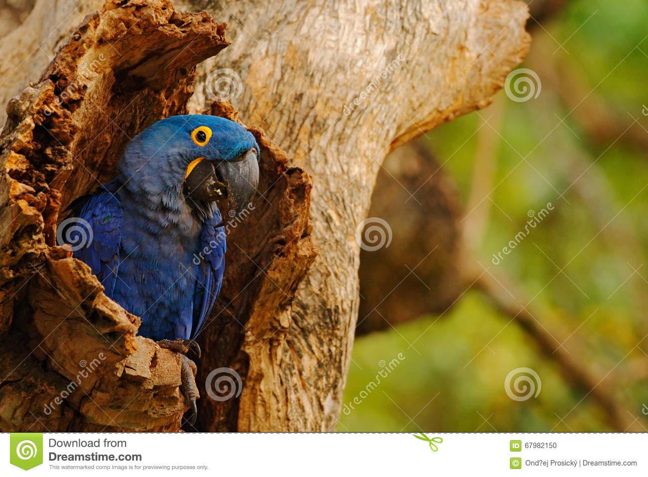 Big Blue Parrot Hyacinth Macaw, Anodorhynchus Hyacinthinus, In.
