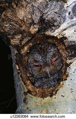 Stock Photo of Flammulated owl in nest cavity u12263084.