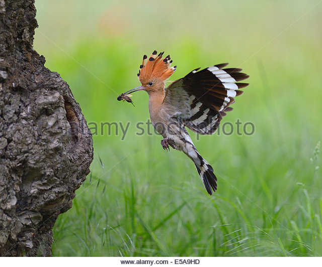 Hoopoe Flight Stock Photos & Hoopoe Flight Stock Images.