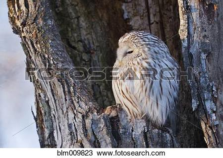 Stock Photo of Ural owl perching in nest cavity blm009823.