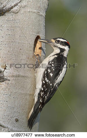 Picture of Hairy Woodpecker (Picoides villosus) perched at its.