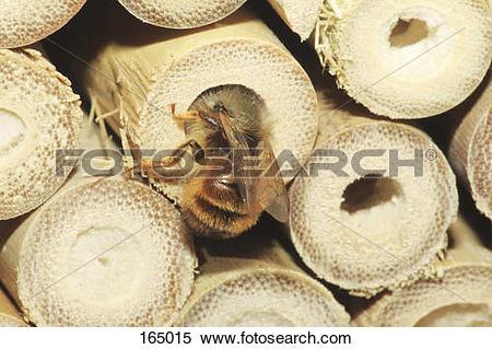 Stock Image of red mason bee at nesting place / Osmia bicornis.