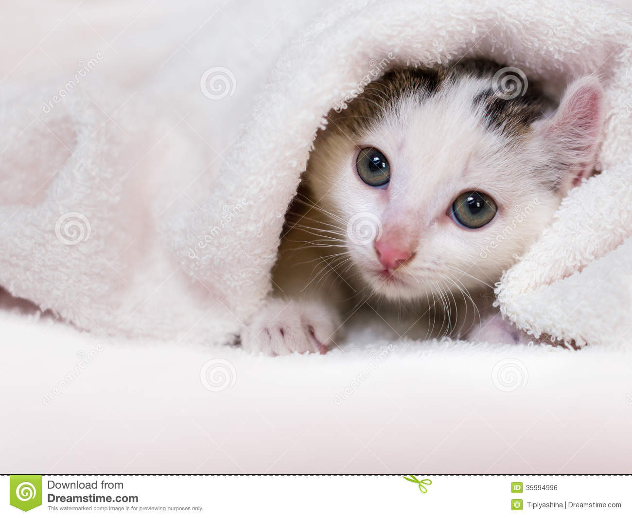 Kitten Nestled Against A White Towel Royalty Free Stock Image.