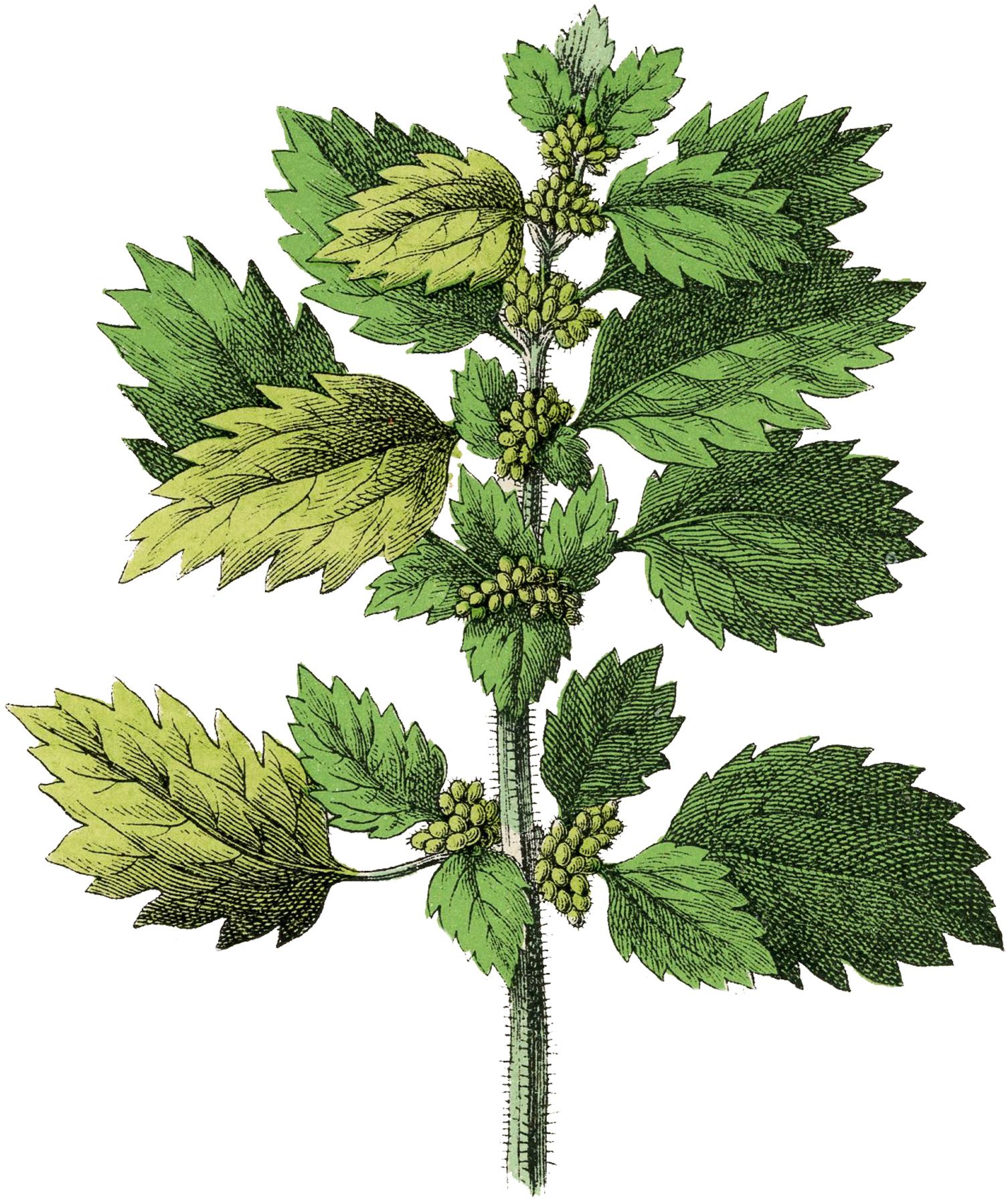 Botanical Nettle Herb Image.