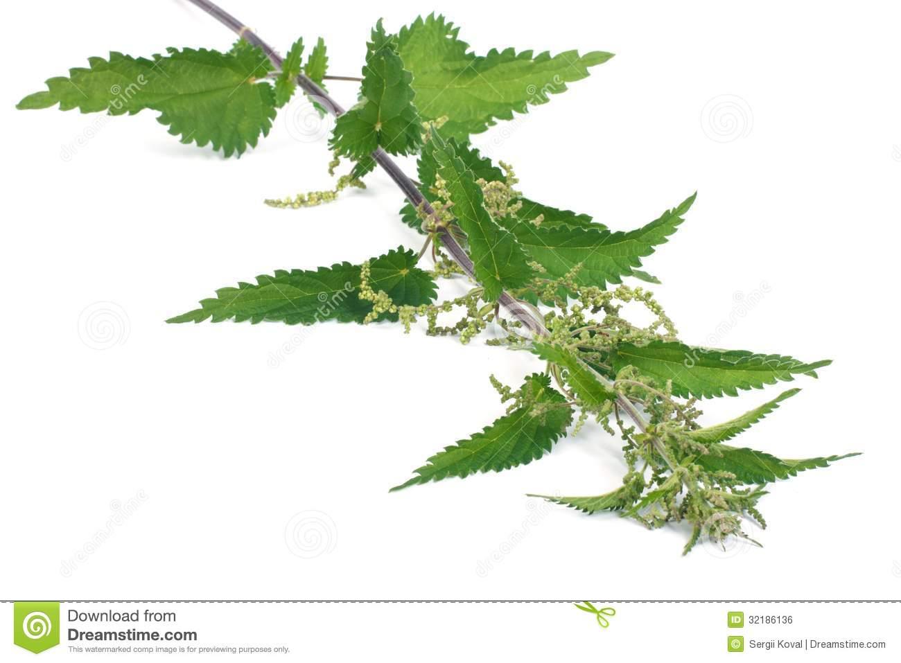 Stinging Nettle Plant Isolated On White Royalty Free Stock Image.