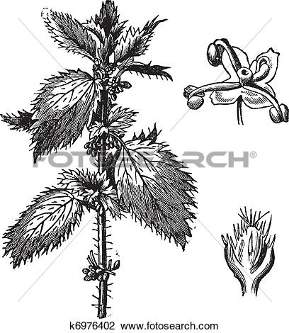 Clipart of Stinging nettle or Urtica urens, with the staminate.