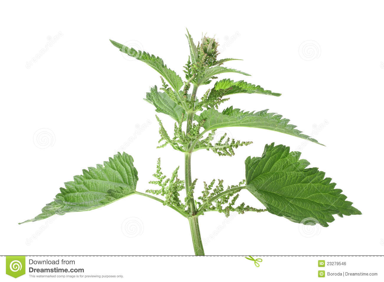 Green Leafs Of Nettle Royalty Free Stock Image.